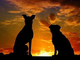 Die größten Hunderassen