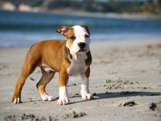 pitbull welpe