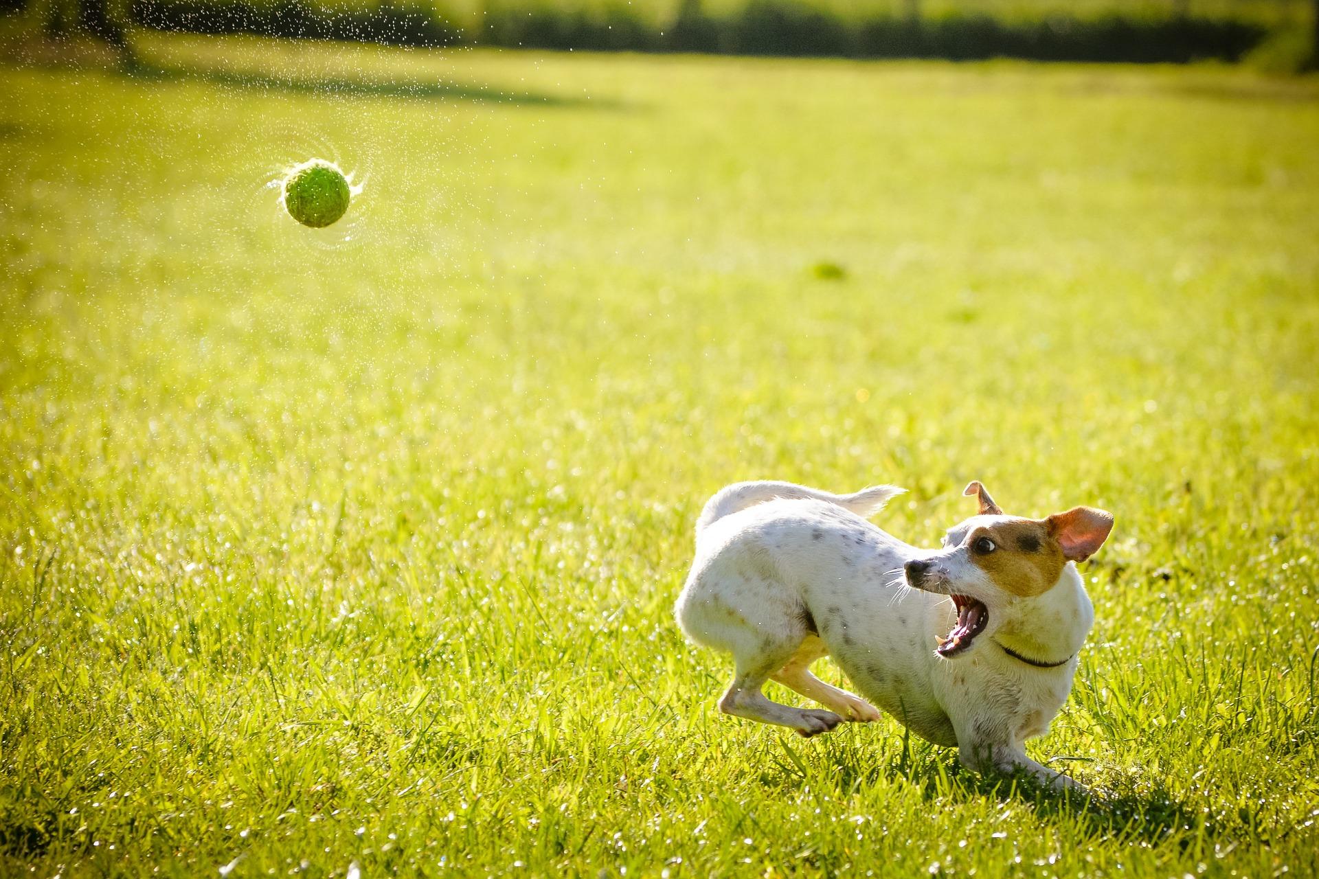 Ballschleuder Hund