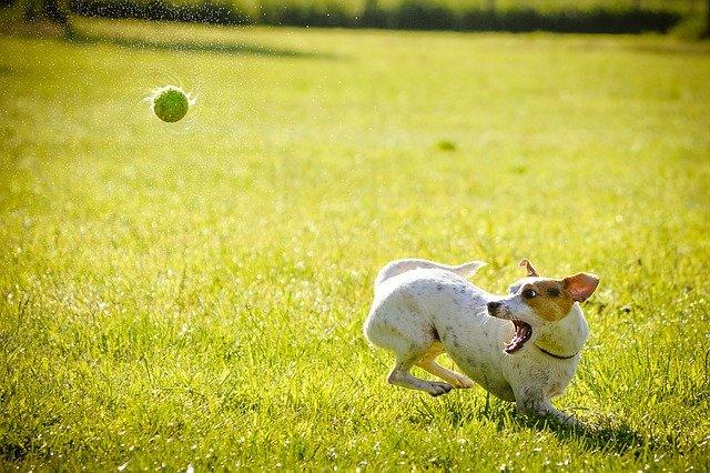 Ballwurfmaschine Hund