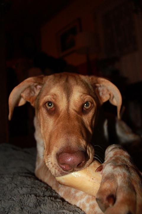 Kauknochen Hunde